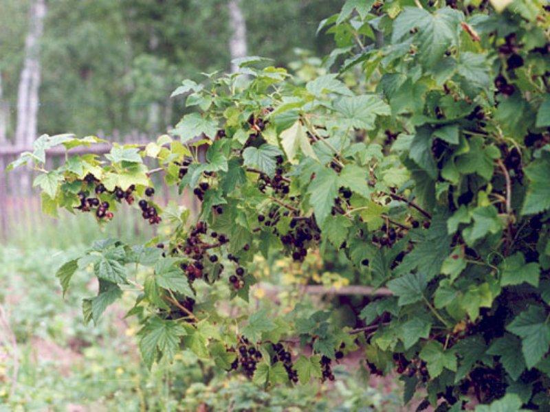 подкормка ягодных кустарников после сбора урожая