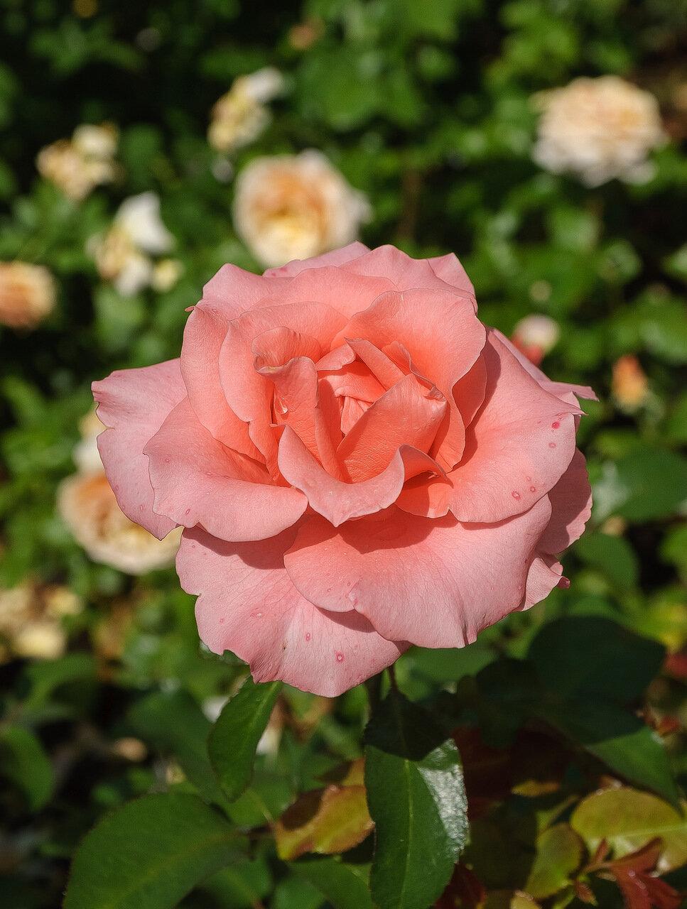 Роза лета 2013 года