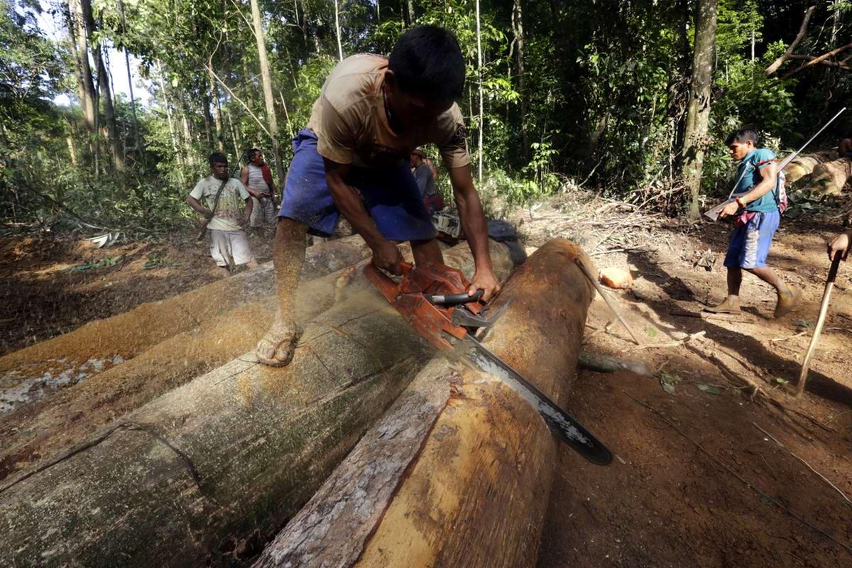 Те штабеля бревен, которые лежат на земле, для того чтобы сделать их малоценным сырьем для других браконьеров индейцы пропиливают с разных сторон