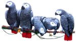 Out_On_A_Limb_Congo_Parrots.png