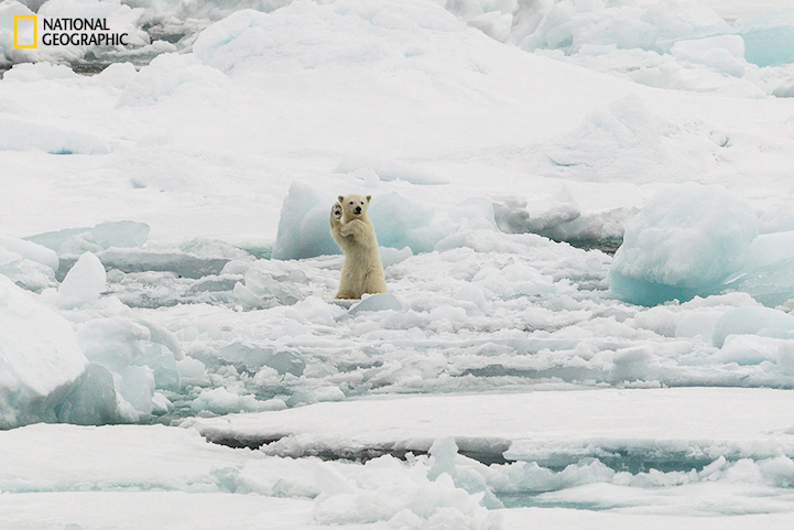Two Polar bear cubs full of adrenaline on iceflow in Svalbard.The mother was just trying to have a quiet stroll but the cubs were not having any of that.This was the male cub and he just was so entertaining to watch.National Geographic Photo Contest 2