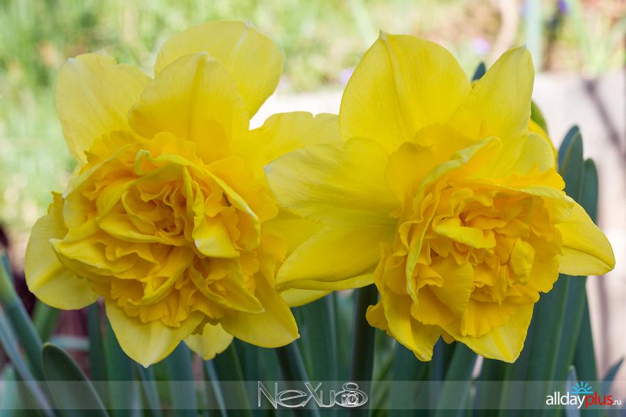 Я люблю все цветы, выпуск 153 | Тюльпан «Exotic Emporior» и нарцисс «Golden Dukat».
