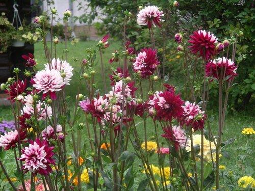 Георгины - цветы детства