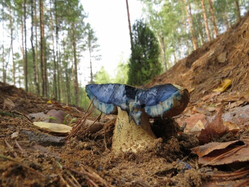 Гиропорус синеющий (Gyroporus cyanescens) Автор фото: Андрей Якименко