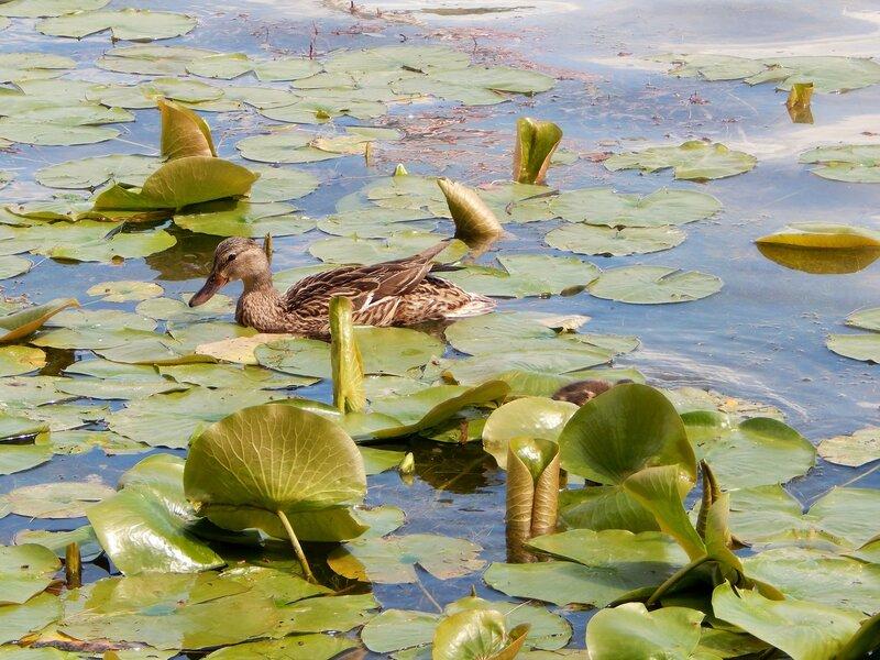 Утиное семейство на озере Тейлор.
