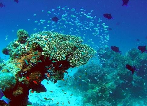 Посадить коралловый сад в Velassaru Maldives