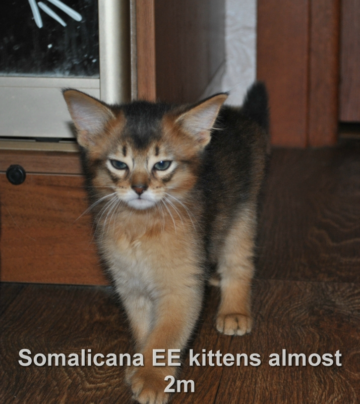 котенок сомали девочка