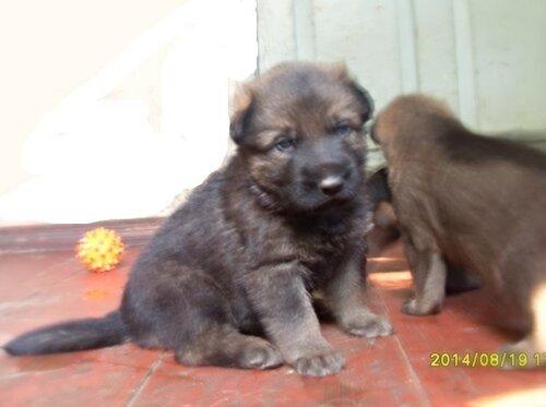 Родились щенки от Charly v. Rio Negro и Lola iz Peschanki 0_e88d0_d134f993_L