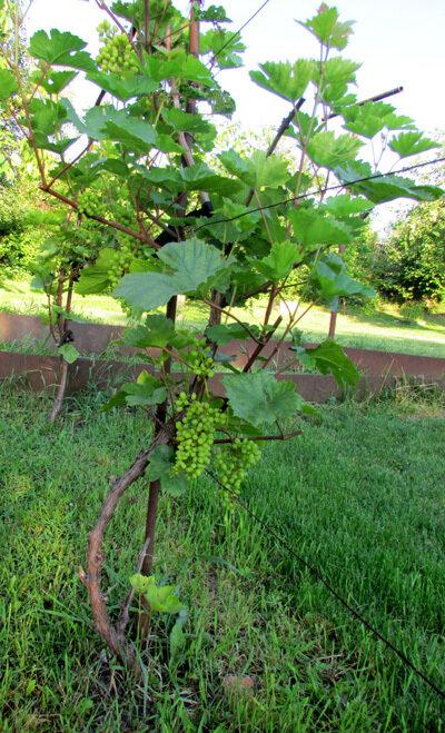 зелен виноград.jpg