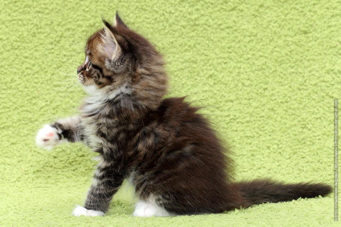 купить мейнкун котята