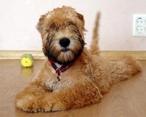на каких собак нет аллергии на шерсть