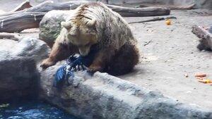 Медведь спасает тонущую ворону в зоопарке Будапешта