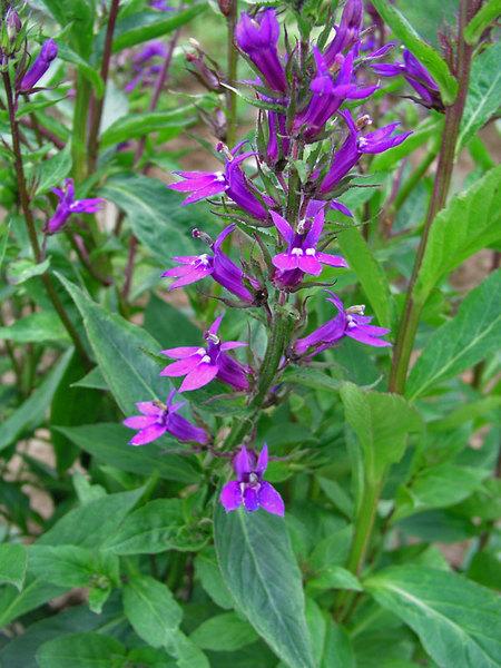Многолетние цветы, переносящие жару-Лобелия многолетняя