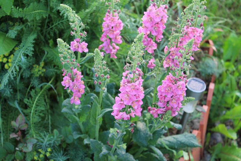Какие цветы можно посадить под зиму - 24 многолетника-Коровяк
