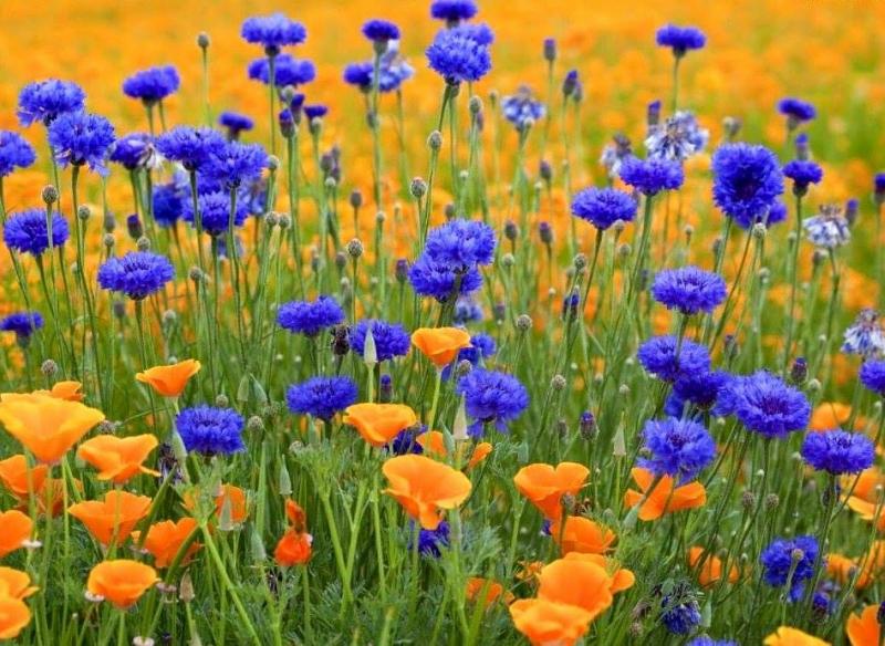Обои на рабочий стол цветы полевые