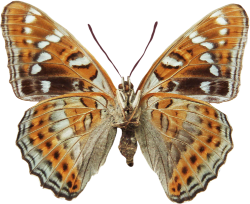 priss_flutteringleaves_butterfly1.png
