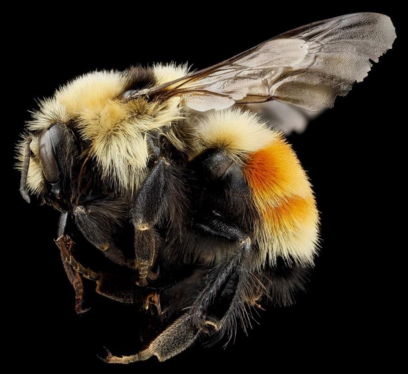 Макрофотографии разноцветных американских пчел 0 13d2b7 e963f11 orig