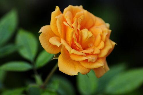 Роза в слезинках