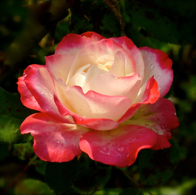 """Роза """"Юбилей принца Монако"""""""