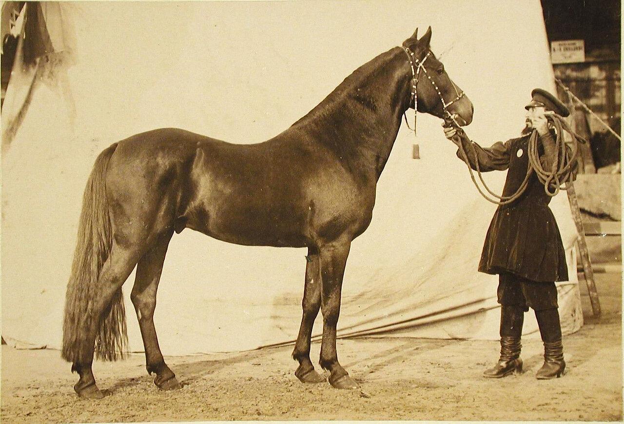 26. Жеребец конного завода Суручана, экспонирующийся на выставке