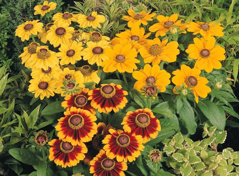 Какие цветы можно посадить под зиму - 24 многолетника-Рудбекия