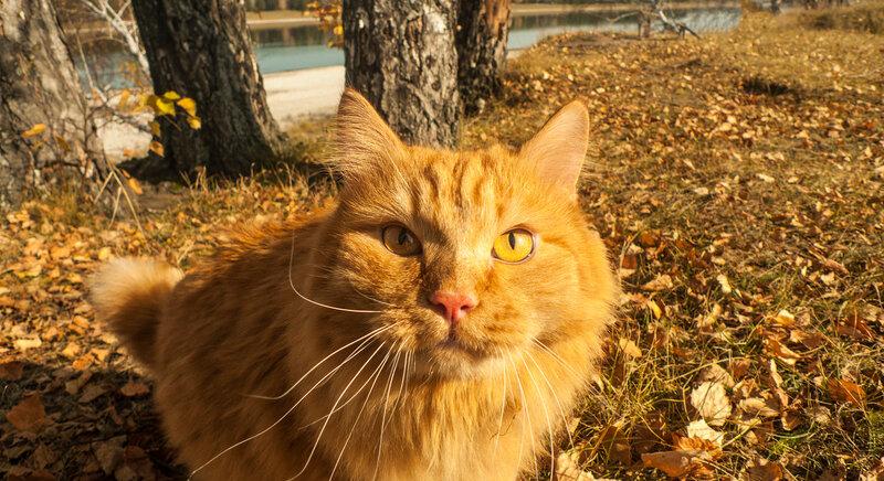 Рыжий кот рыжей осенью