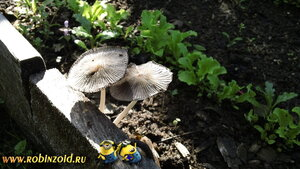 гриб на грядке