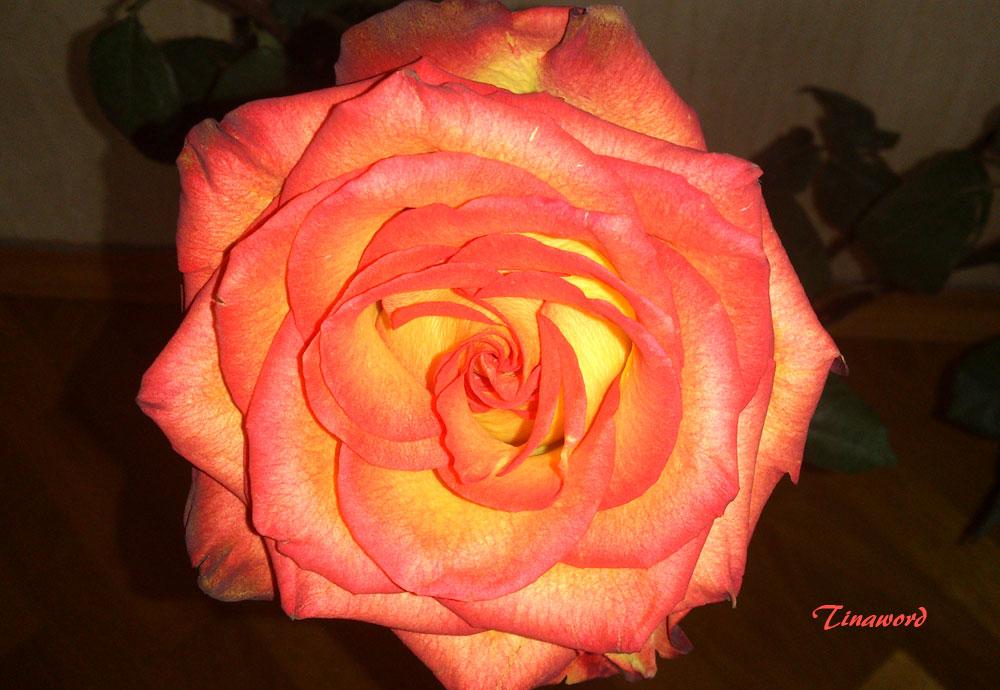 роза7.jpg