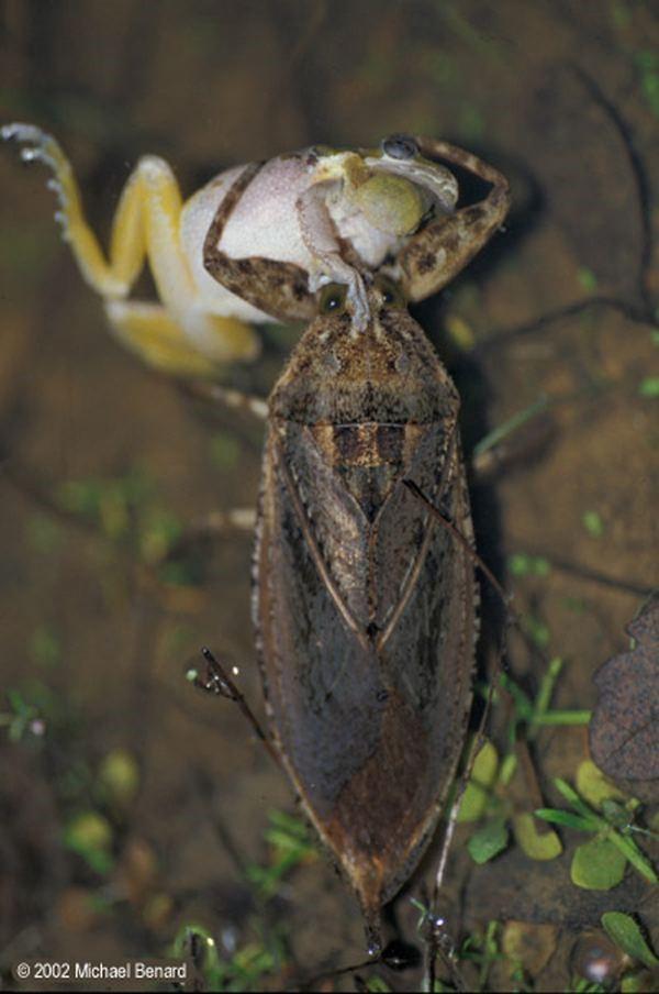 Corixidae  Wikipedia