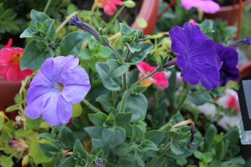 Фотоальбом «Лучшее из сада»-петуния самосев