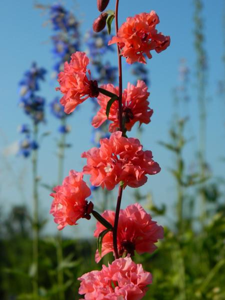 Какие цветы можно посадить под зиму - 20 однолетников-Кларкия
