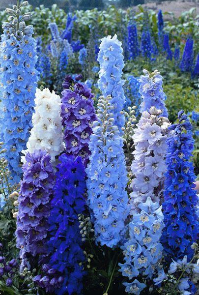 Какие цветы можно посадить под зиму - 24 многолетника-Дельфиниум