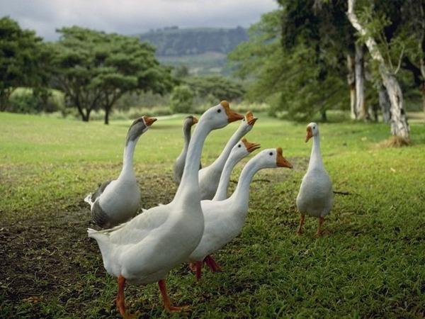 гельминтозы у гусей