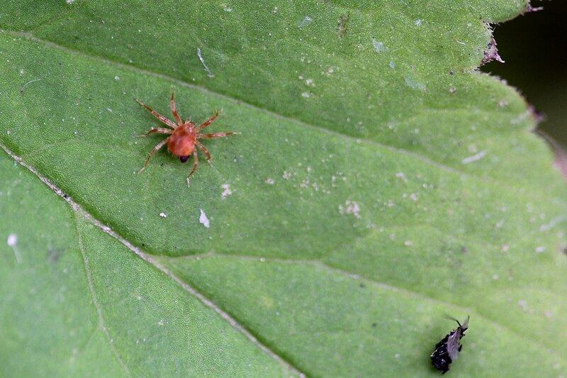 Красный то ли паук то ли клещик с добычей на листе мать-и-мачехи