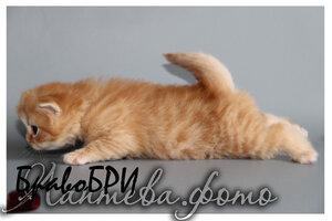 красный пятнистый британский длинношерстный кот