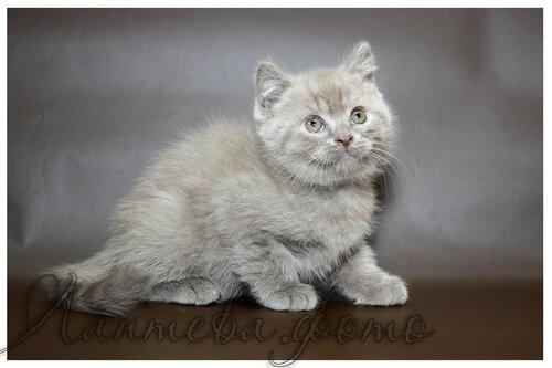 лиловый британский короткошерстный кот