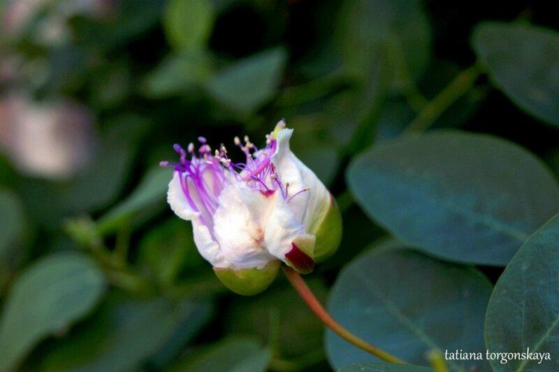 Цветок в Перасте