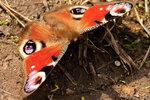 Бабочка-крапивница.jpg