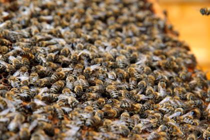 Дом жительницы города Нью-Йорк оккупировало полсотни тысяч пчел