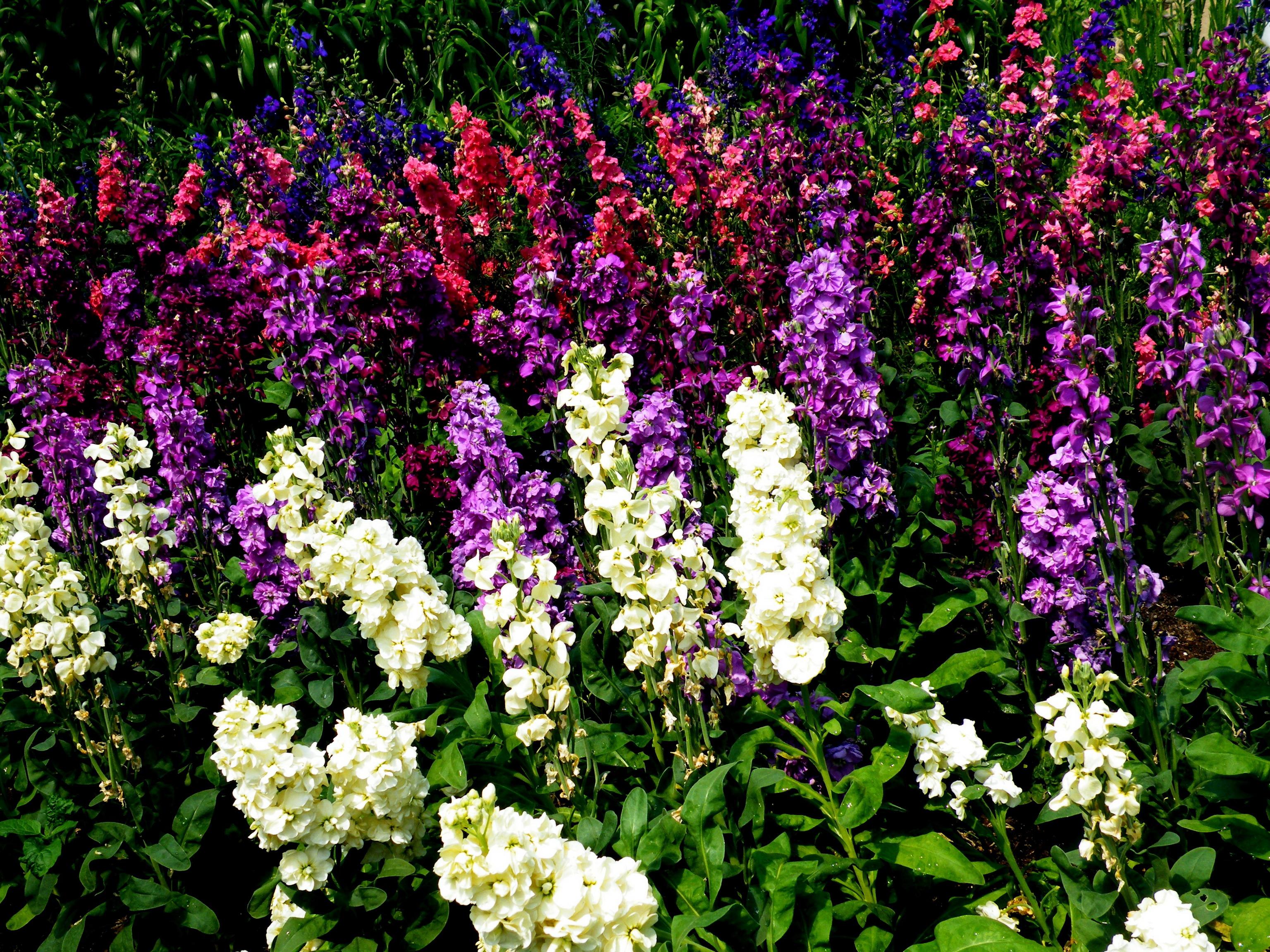 Многолетние цветы, переносящие жару-Наперстянка