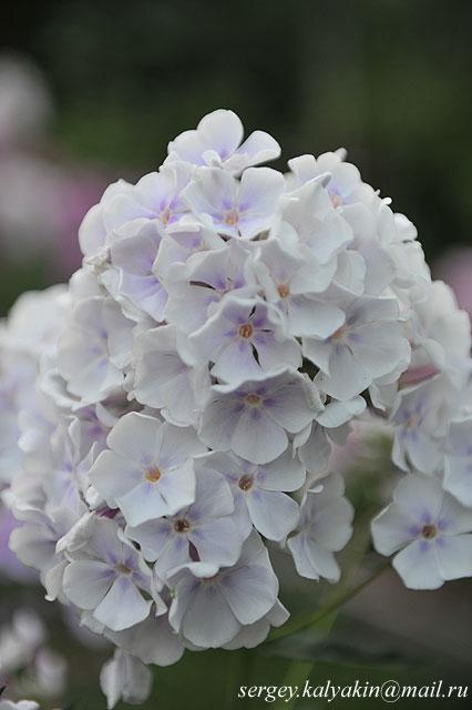 Флокс метельчатый  Lavendelwolke (2).JPG