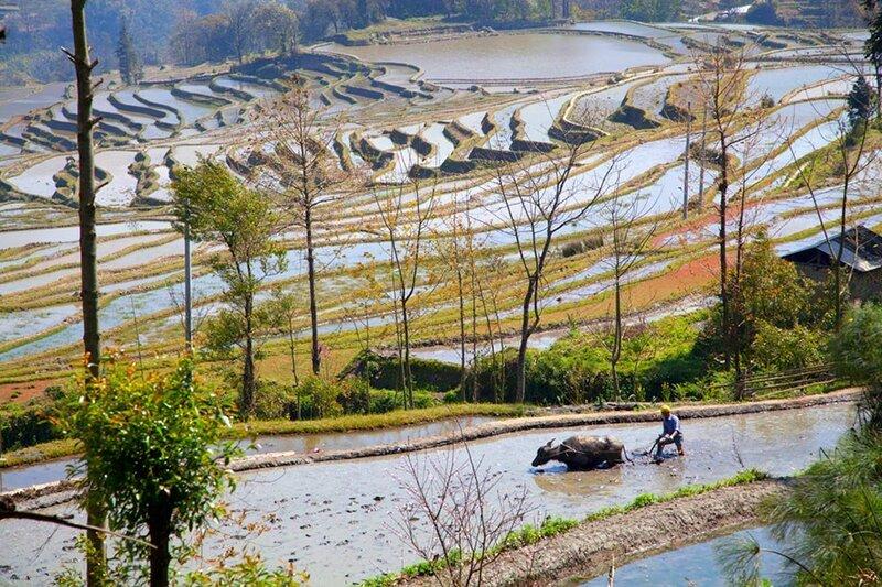 Рисовые террасы, рисовые поля в Китае (фото)