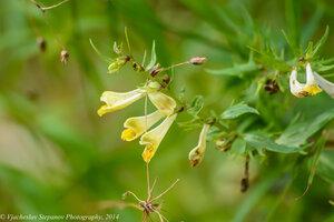 s:травянистые,c:желтые,c:золотисто-желтые
