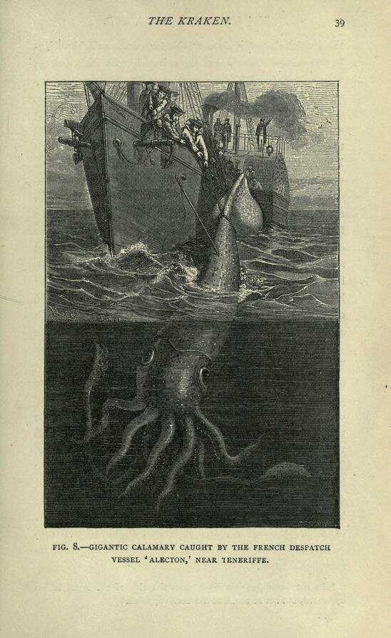 Fig. 8. Giant squid caught near Tenerife. Sea monsters unmasked. 1883..jpg