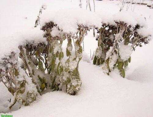 Очиток (очитник) видный / Sedum (hylotelephium) spectabile в январе