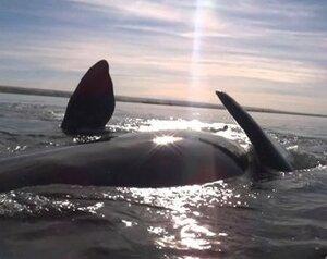 Игривый кит поднял маленький каяк на своей спине