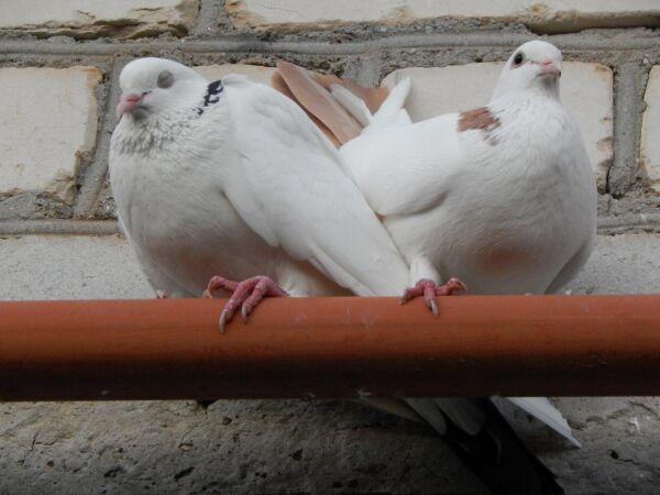 голуби.jpg