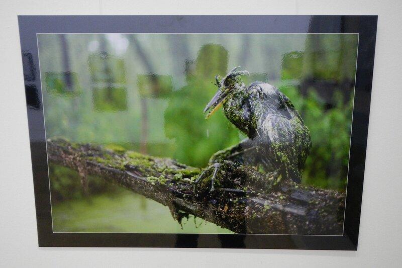 Цапля в болотной тине - на фестивале дикой природы Золотая Черепаха