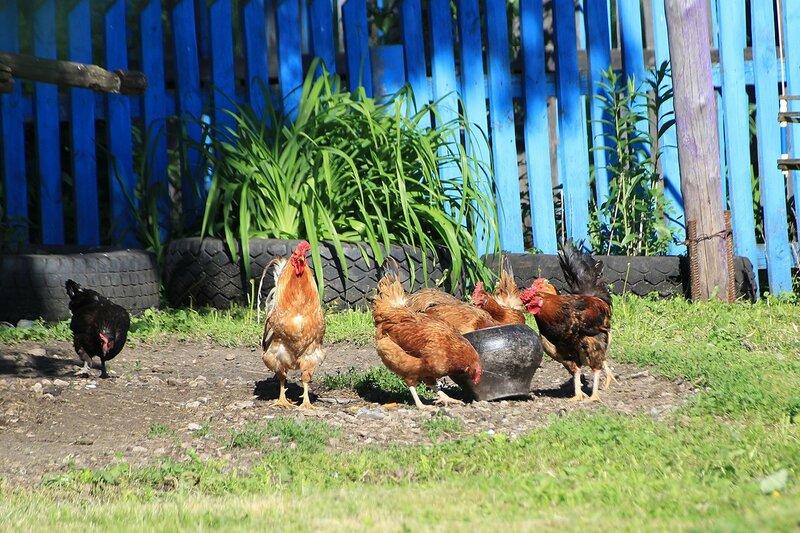 Курицы вокруг горшка с кормом на деревенском дворе