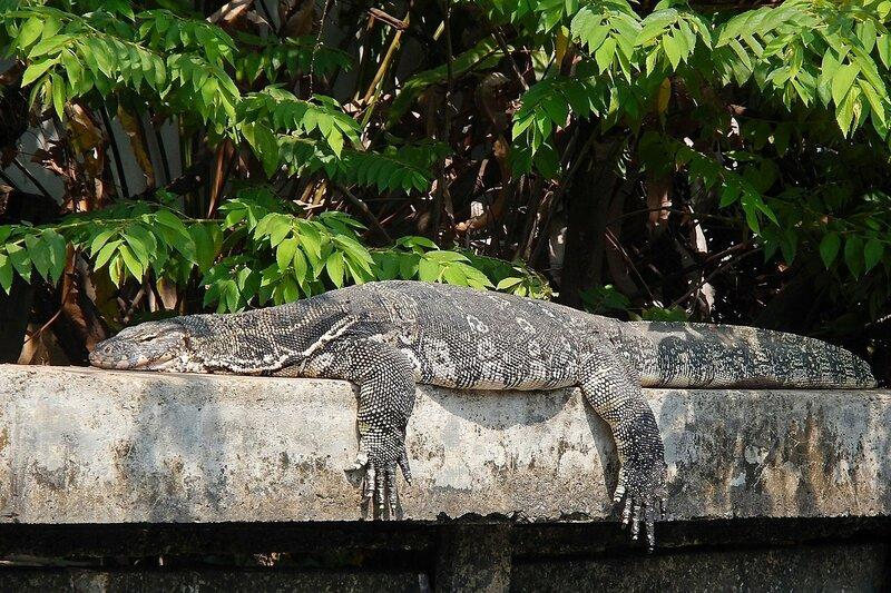 Варан отдыхает на бетонном ограждении канала Khlong Chak Phra, свесив лапы как кошка - Полосатый варан (лат. Varanus salvator) в Таиланде